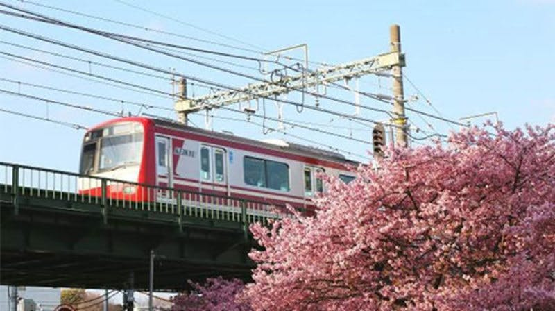 三浦海岸&横浜・大岡川 桜キャンペーン